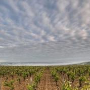 Dans le Chablis où le ciel est tombé sur les vignes, on vendange ce qui reste