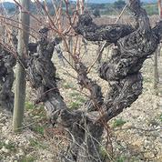 Les ravages du gel printanier d'avril vont coûter cher aux vignobles