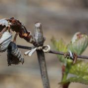 Point complet sur l'impact du gel dans le vignoble