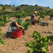 L'Italie, premier producteur européen de vin, commence ses vendanges