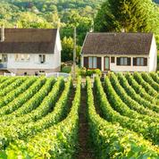 Alsace: les vendanges de crémant dès mercredi