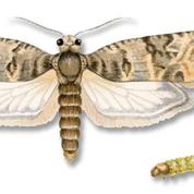 Quand les phéromones déboussolent les papillons