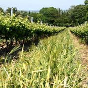 De plus en plus d'herbe dans les vignes, mais pourquoi ?