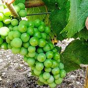 Adopter de la vigne