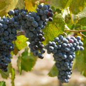 Réchauffement climatique: les cépages ancestraux au secours de la vigne