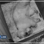 L'ourson polaire du zoo de Vienne fait ses premiers pas