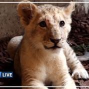 Un lionceau découvert en pleine nature dans les Pyrénées-Orientales