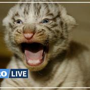 Rare naissance de trois tigres blancs au zoo d'Amnéville