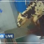 L'association L214 épingle l'abattoir Sobeval en Dordogne dans une nouvelle vidéo choc
