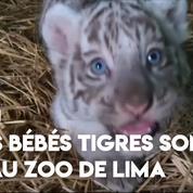 Pérou : trois bébés tigres présentés au zoo de Lima