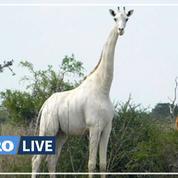 Kenya: l'unique girafe blanche femelle du monde a été retrouvée morte