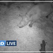 Première naissance d'un rhinocéros noir en France