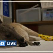 Un australien soigne des bébés kangourou ayant survécu aux incendies