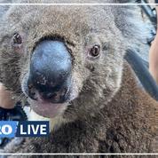 Australie: un koala assoiffé réclame de l'eau à une cycliste