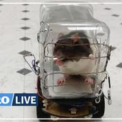 Des chercheurs américains apprennent à conduire à des rats