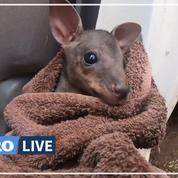 En Australie, un fermier sauve un bébé kangourou piégé par les flammes