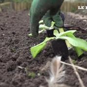 Dans le jardin de Marc : des laitues fraîches à la maison