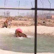 Deux tigres découvrent leur nouvel espace de vie, avec piscine
