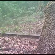 En pleine jungle, un miroir géant intrigue les animaux
