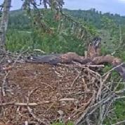 L'atterrissage complètement raté d'un aigle sur son nid