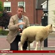 Un mouton urine sur un journaliste de la BBC