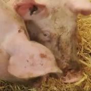 Comparé aux élevages conventionnels, le porc bio se vend bien
