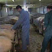 Crise du porc : les pistes du gouvernement