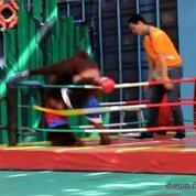 Des combats de boxe entre singes dans un zoo de Thaïlande