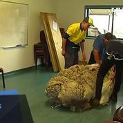 Incapable de se déplacer, un mouton avec 42 kilos de laine a été tondu