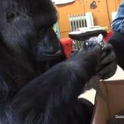 Quand un gorille adopte des chatons