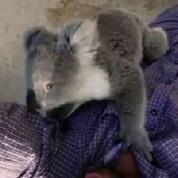 Un bébé koala grimpe sur un caméraman