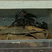Les douanes de Roissy saisissent 119 scorpions venimeux