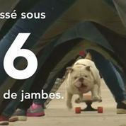Un bulldog bat un record du monde à skateboard