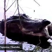 Un alligator mange... un autre alligator