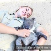 Harry le petit koala adore les calins