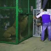 Trente-trois lions prennent l'avion pour l'Afrique du Sud