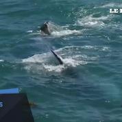 Une baleine grise fait le spectacle au bord d'une plage de Californie