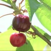 Des producteurs de cerise protestent contre l'interdiction d'un insecticide