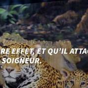 Un jaguar exhibé pour le passage de la Flamme Olympique a été abattu au Brésil