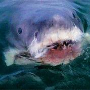 Australie : deux attaques mortelles de requin en une semaine