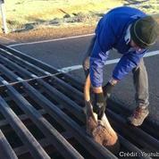 Un homme sauve un kangourou coincé dans une grille