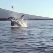 Un orque propulse un tortue de mer dans les airs