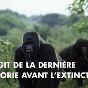 Le plus grand gorille du monde est au bord de l'extinction