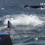 Les baleines à bosses sont sauvées de l'extinction (ou presque)