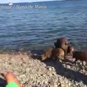 Des sangliers s'invitent sur la plage de Cerbère dans les Pyrénées-Orientales
