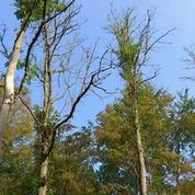 Les forêts du nord fermées à cause d'une prolifération du champignon de la chalarose