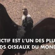 Argentine: un condor retrouve la liberté après un an de captivité