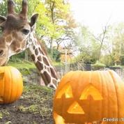 Les animaux du zoo d'Oregon fêtent Halloween avant l'heure