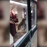 Un cerf traverse la vitrine d'une boutique