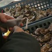 Des fausses huîtres espionnes pour traquer les voleurs